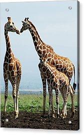 Giraffe Family Acrylic Print by Sallyrango