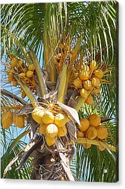 Golden Coconuts Key West Acrylic Print