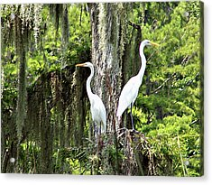 Great White Egrets Acrylic Print
