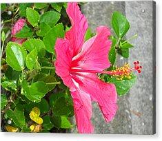 Acrylic Print featuring the photograph Hawaiian Pink Beauty by Yolanda Koh