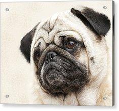 L-o-l-a Lola The Pug Acrylic Print by Kathy Clark