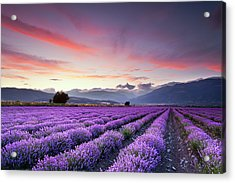 Lavender Field Acrylic Print by Evgeni Dinev Photography