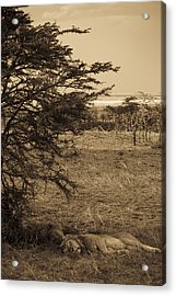 Male Lions Snoozing In Shade Acrylic Print by Darcy Michaelchuk