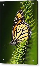 Monarch Butterfly Acrylic Print by The Photography Factory