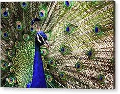 Peacock Acrylic Print by Stefan Nielsen