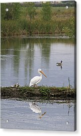 Pelican Reflection Acrylic Print by Alyce Taylor