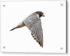 Peregrine Falcon Bird Acrylic Print by Bmse