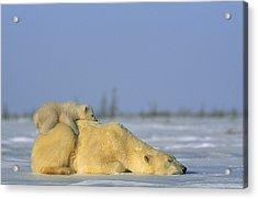 Polar Bear And Her Cub Resting Acrylic Print by Norbert Rosing
