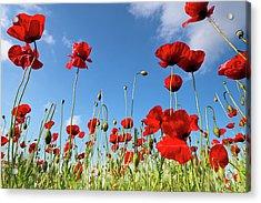 Poppies Season Acrylic Print