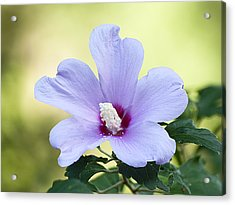 Purple Althea Acrylic Print