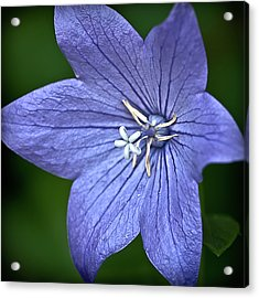 Purple Balloon Flower Acrylic Print by  Onyonet  Photo Studios