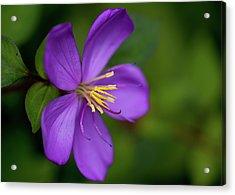 Purple Flower Macro Acrylic Print by Dan McManus