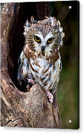 Saw-whet Owl Acrylic Print by Wade Aiken