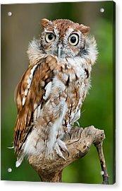 Screech Owl Acrylic Print by Wade Aiken