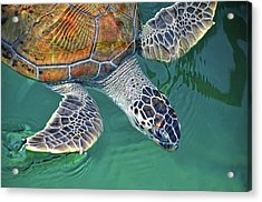 Sea Turtle Acrylic Print by Thank you.