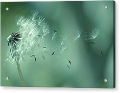 Seeds Of Dandelion Acrylic Print by Florence Barreau