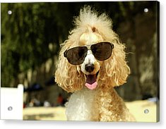 Smiling Poodle Wearing Sunglasses On Beach Acrylic Print by Stephanie Graf-Vocat - SGV Photography