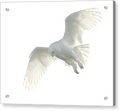 Snowy Owl Acrylic Print by Pat Gaines