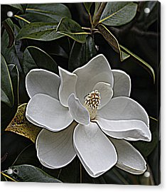 Southern Magnolia Acrylic Print by Sandi Blood