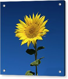 Sunflower Acrylic Print by Fotografias de Rodolfo Velasco