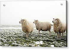 Three Sheep In Winter Acrylic Print by MarcelTB