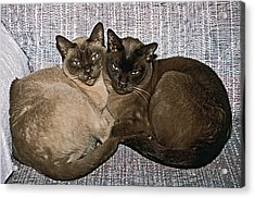 Acrylic Print featuring the photograph Tonkinese Pals by Sally Weigand