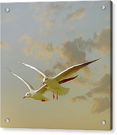 Two Mediterranean Gulls In Flight Acrylic Print by Christiana Stawski