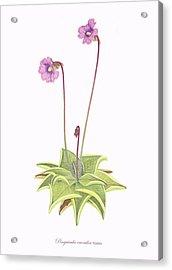 Violet Butterwort Acrylic Print