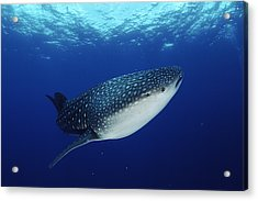 Whale Shark Rhincodon Typus Acrylic Print by Jurgen Freund