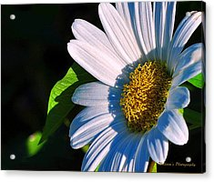 White Daisy Acrylic Print by William Lallemand