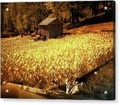 Yellow Daffodil Field Acrylic Print