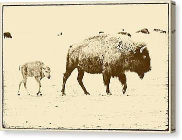 Bison Mother And Calf Canvas Print