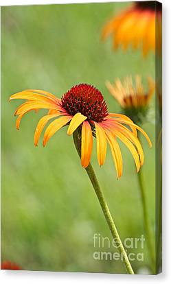 Canvas Print featuring the photograph Coneflower by Eve Spring