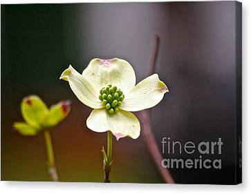 Canvas Print featuring the photograph Dogwood by Eve Spring
