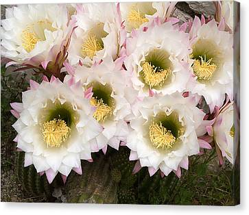 Cactus Flowers Canvas Print by Odon Czintos