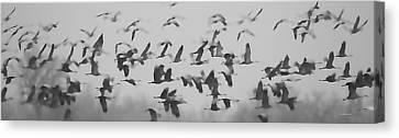 Flight Of The Sandhill Cranes Canvas Print
