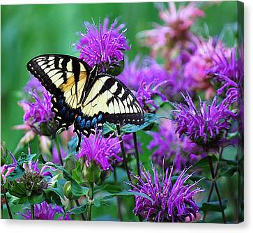 Swallowtail Butterfly  Canvas Print by Lila Fisher-Wenzel
