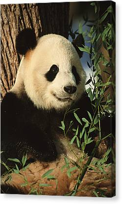 A Close View Of A Panda Canvas Print by Taylor S. Kennedy