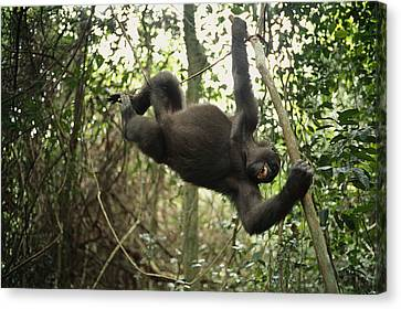 A Gorilla Swinging From A Vine Canvas Print by Michael Nichols