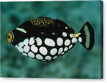 A Juvenile Clown Trigger Fish Canvas Print by Tim Laman