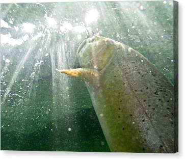A Snake River Fine Spotted Cutthroat Canvas Print by Drew Rush