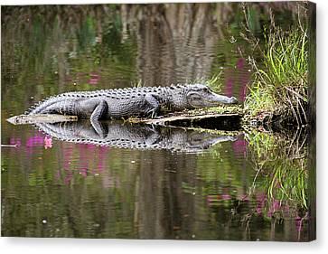 Alligator Sunbathing Canvas Print by Daniela Duncan