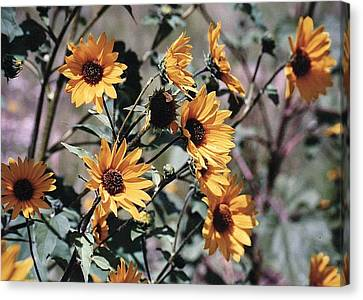 Canvas Print featuring the photograph Arizona Sunflowers by Juls Adams