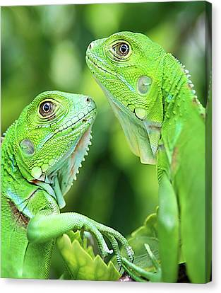 In Focus Canvas Print - Baby Iguanas by Patti Sullivan Schmidt