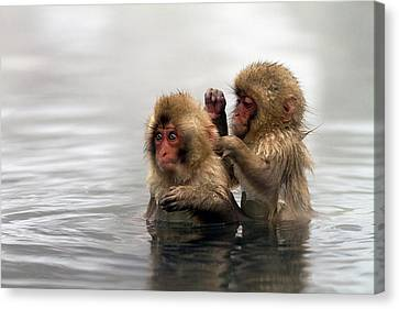 Baby Japanese Macaques snow Monkeys Canvas Print by Oscar Tarneberg