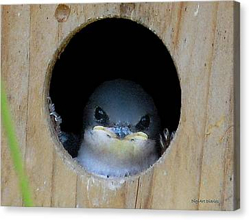 Barn Swallow Chick Canvas Print by DigiArt Diaries by Vicky B Fuller