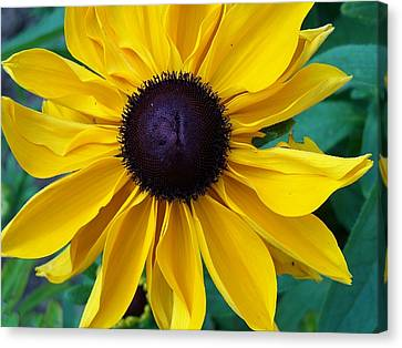 Black Eyed Susan Canvas Print