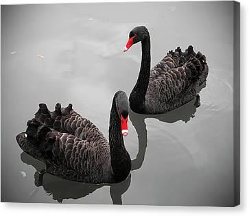 Black Swan Canvas Print by Bert Kaufmann Photography