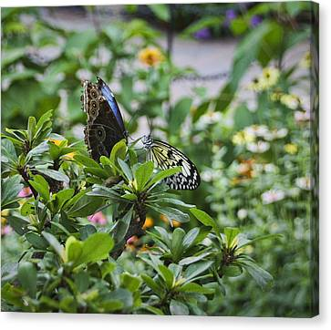 Butterfly Dance Canvas Print by Christina Durity