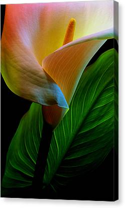 Calla Lily Canvas Print by Dung Ma